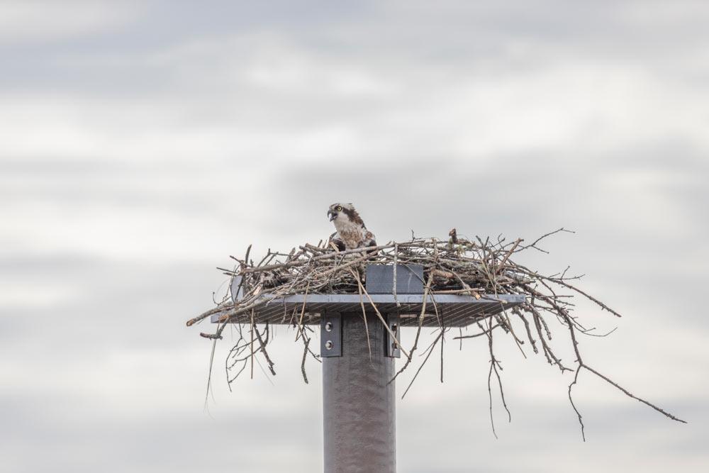 Osprey in Nest | Pearson Pilings