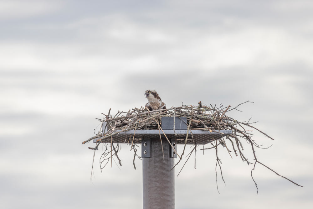 Osprey in Nest   Pearson Pilings