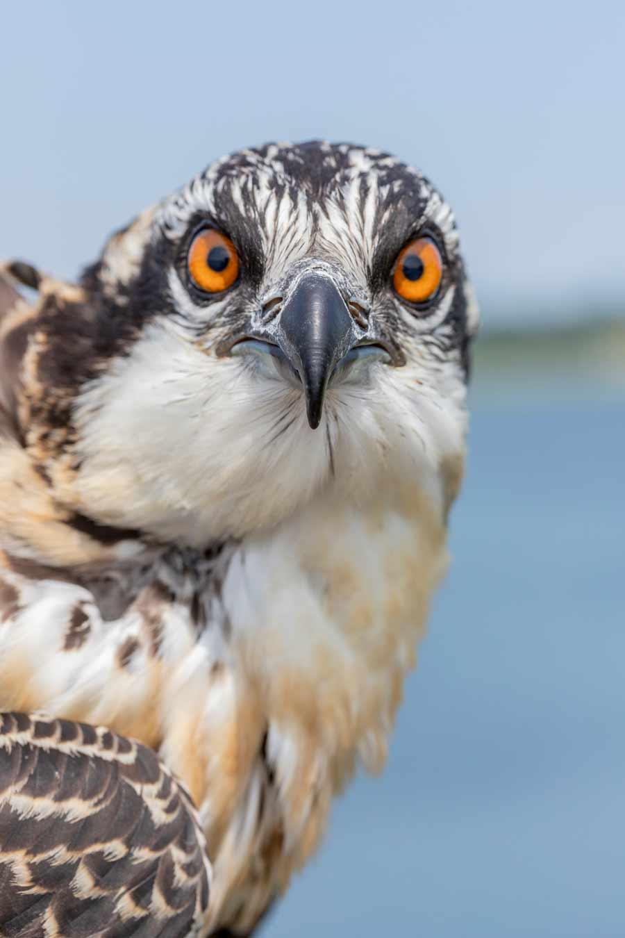 osprey data-title=