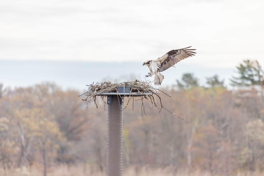 osprey flying data-title=