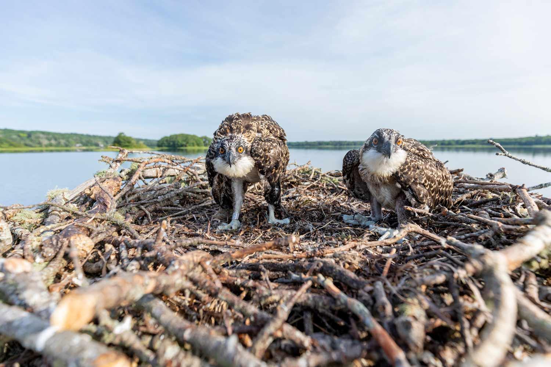 Osprey Nest with Sticks data-title=